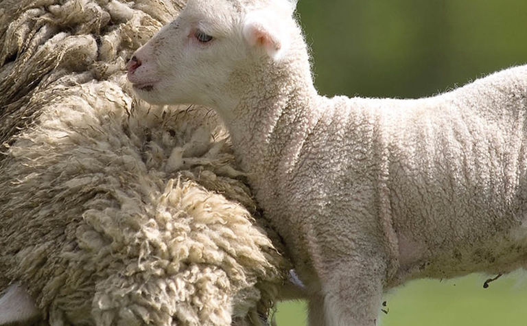 Hormone history is written in the wool