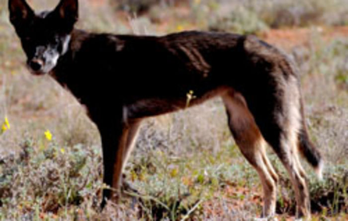 Advanced tech to provide flock protection from wild dogs