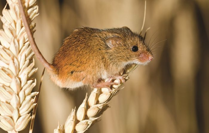 Mice activity on the rise