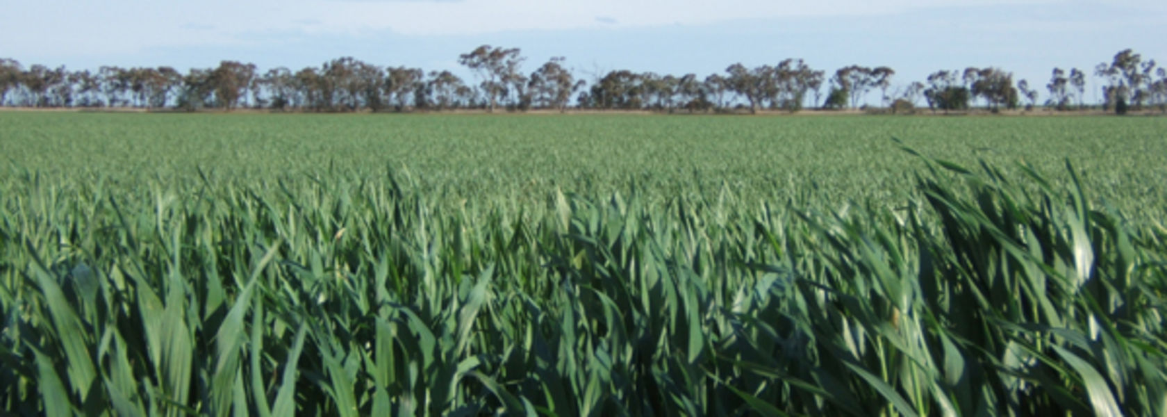Studies show resistance issue for net form net blotch in barley