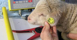 Industry rejects mandatory sheep tags