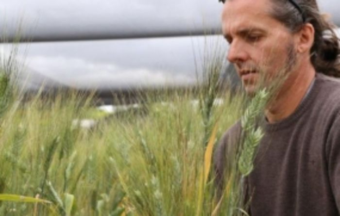 Plant molecule crucial to improving stress tolerance in cereal crops