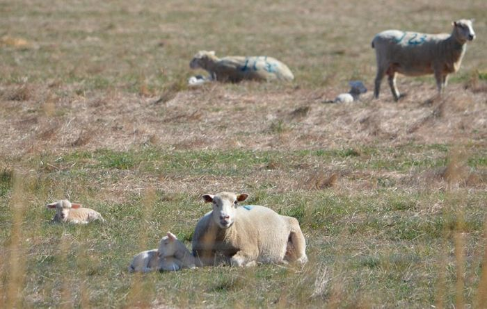 Sheep industry needs your help