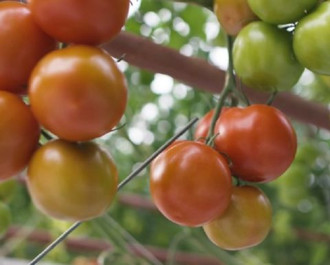 Ground-breaking tomato farm opened in SA