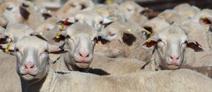 National Sheep Health Project sets new records