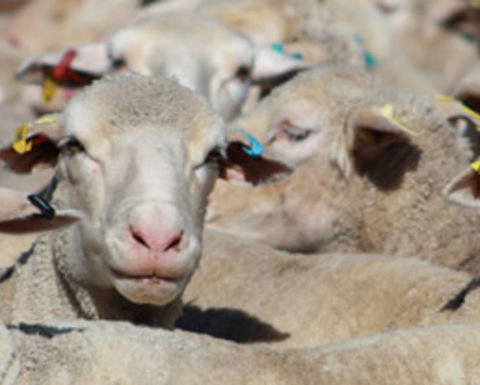 Export legislation changes the definition of lamb