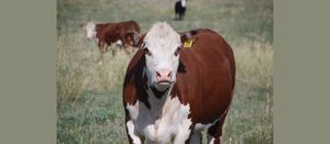 Potential easing of strong cattle prices on the horizon