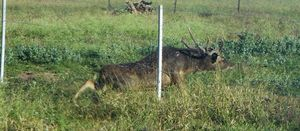 Research collaboration formed to tackle feral deer
