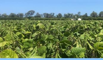 Queensland researchers launch new disease-resistant mungbean