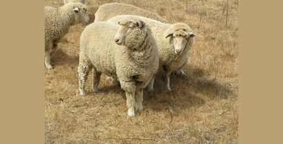 Adding lucerne to the diet can boost sheep performance