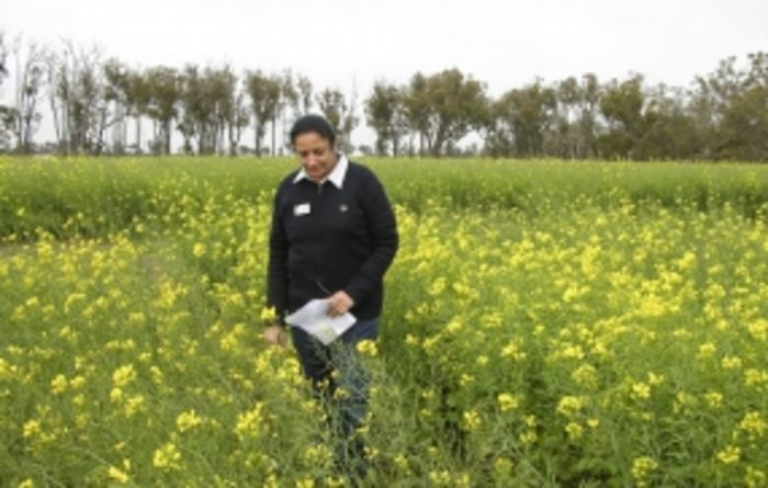 Sclerotinia stem rot's massive impact on WA canola growers