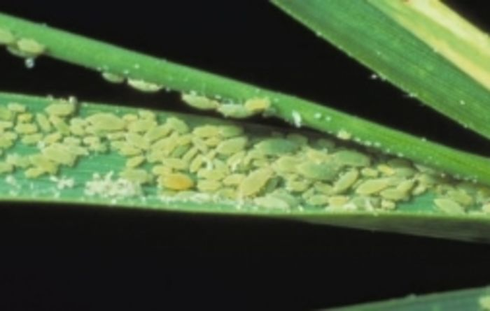Grain states on alert for Russian wheat aphid