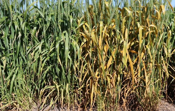 Close monitoring recommended for some wheat varieties