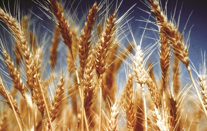 Huge tax bill expected for grain growers