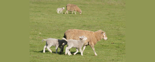 New tools for sheep predator control to be discussed