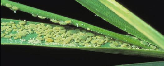 Research shows Russian Wheat Aphids can be managed