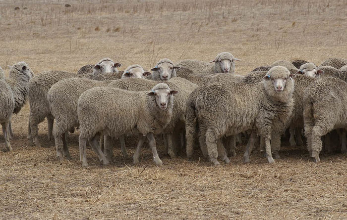 Strong lamb prices and export demand for Australian sheep producers