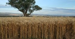 Victorian winter crop summary out now
