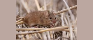 Research leads to better management of plague mice