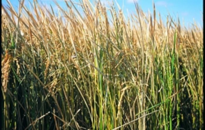 Rice crops back in business
