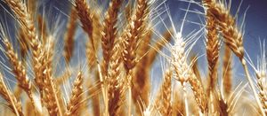 Grain growers tipped to invest despite lower prices