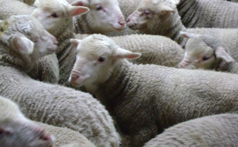 WA lamb production now crucial