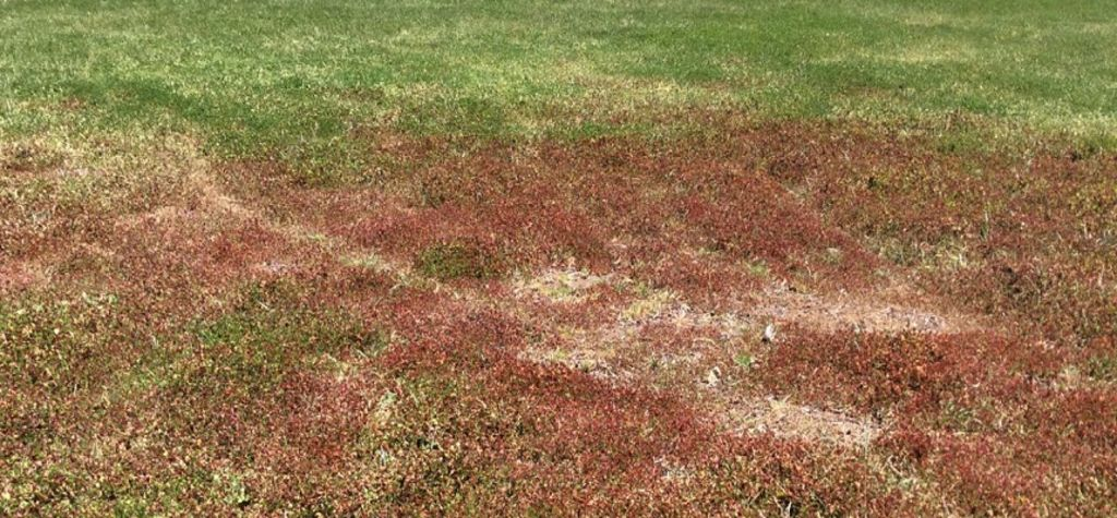Increased risk of red leaf syndrome in pastures this autumn