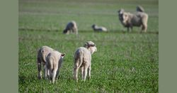 New lamb resources now available