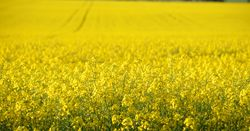 New canola resource for WA growers