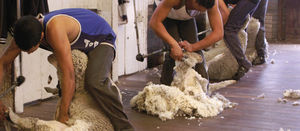 Woolgrowers vote for a research and marketing levy