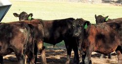 Lessons from the drought - early weaning