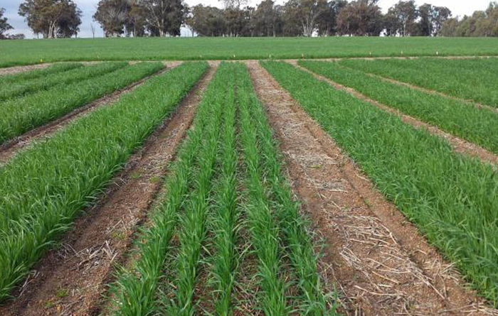 New tool to help with oat production in WA