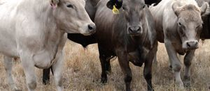 Beef up your EBVs with genomics