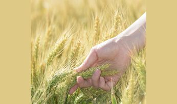 High-fibre wheat performing well in US