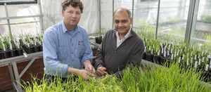 Gene research aims to enhance disease resistance in barley