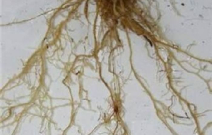 Soil acidity could increase risk of root lesion nematodes