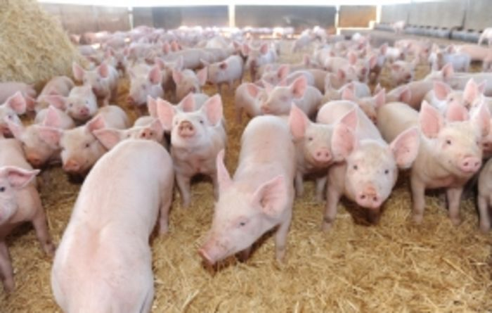 Pork producers picking up productivity on production changes
