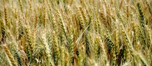 New GRDC investment will provide important frost information