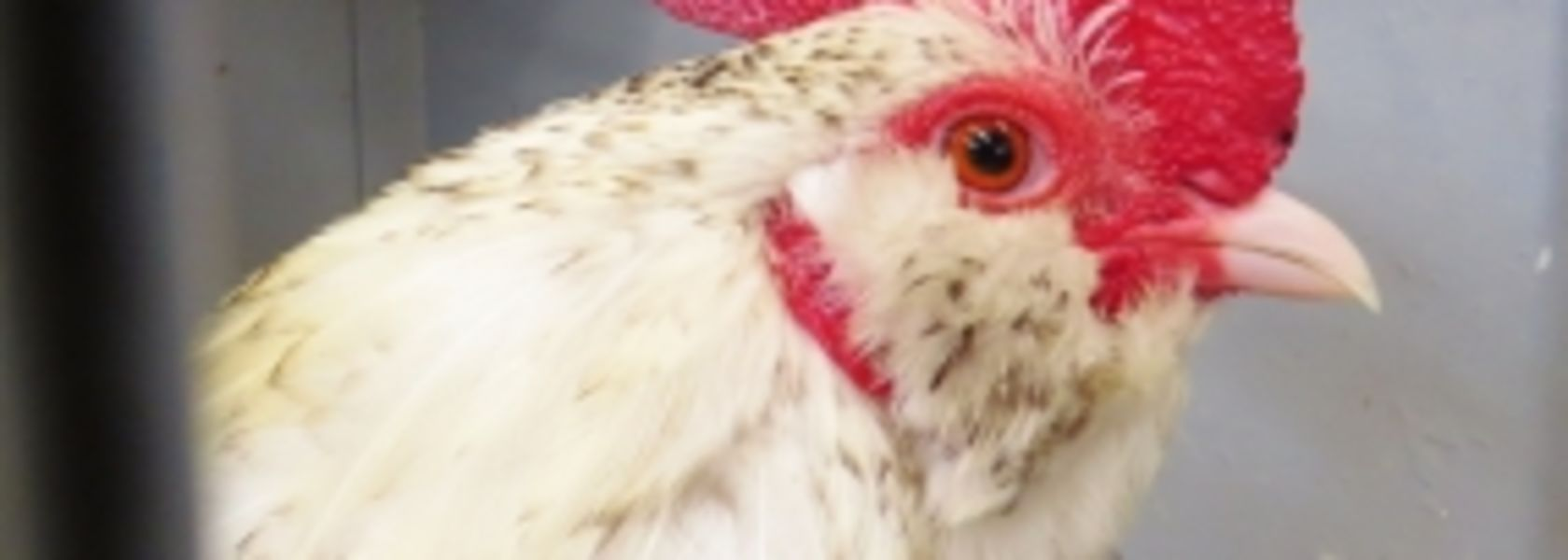 Poultry pinged as most consumed protein by 2020