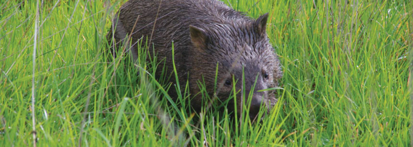 Wet and weary wombat goes walkabout