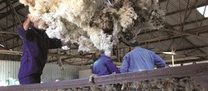 Wool stakeholders to improve health and safety in shearing sheds