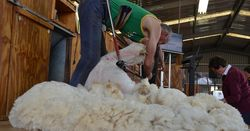 Wool production to continue downward trend