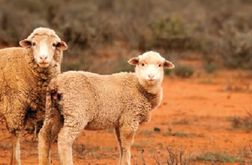 Lamb driven to 700c/kg despite reliable supply