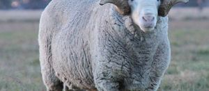Aussie Merino wool in high demand