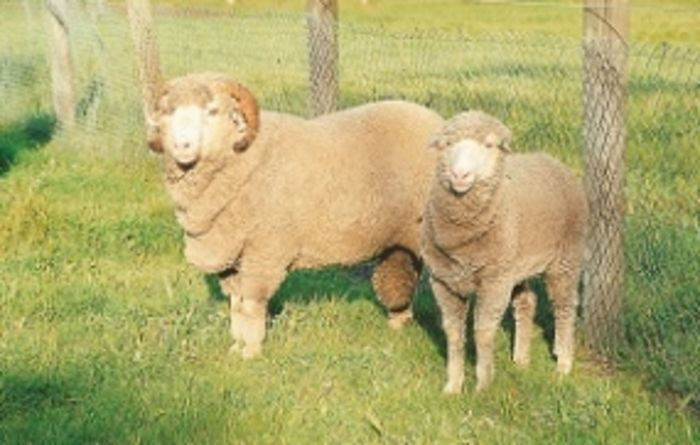 Opportunities for Merino producers