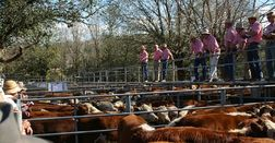 Young cattle indicator price reaches a new record