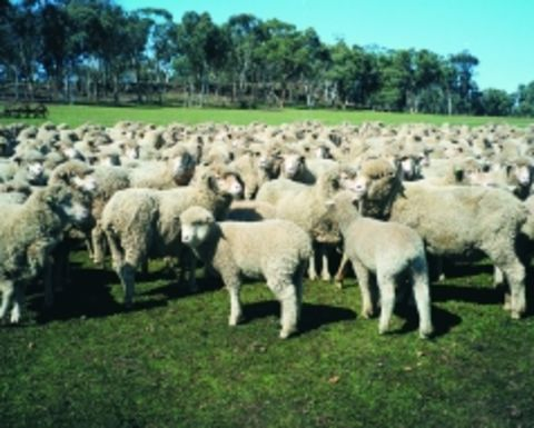 Price incentive for carry-over lambs