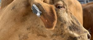 Smart ear tags created