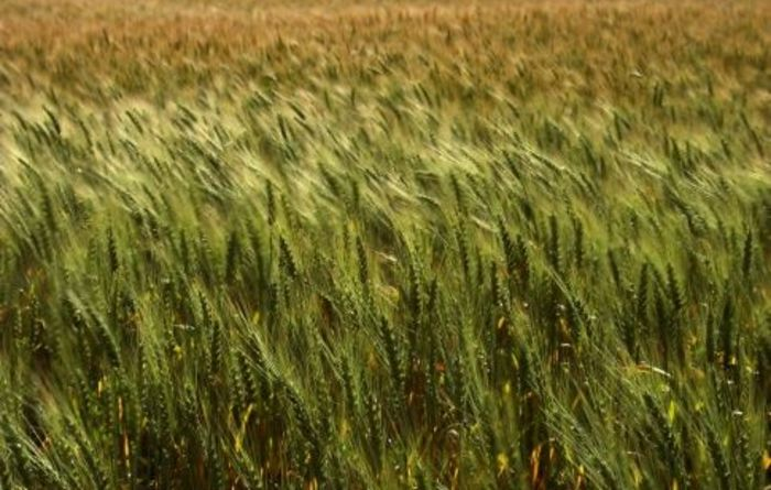 Dry season sees grain crops cut for hay