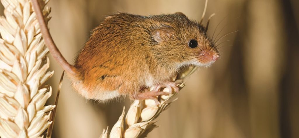 Research reveals more about mice
